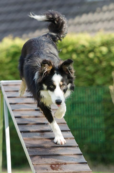 Border collie agility dog